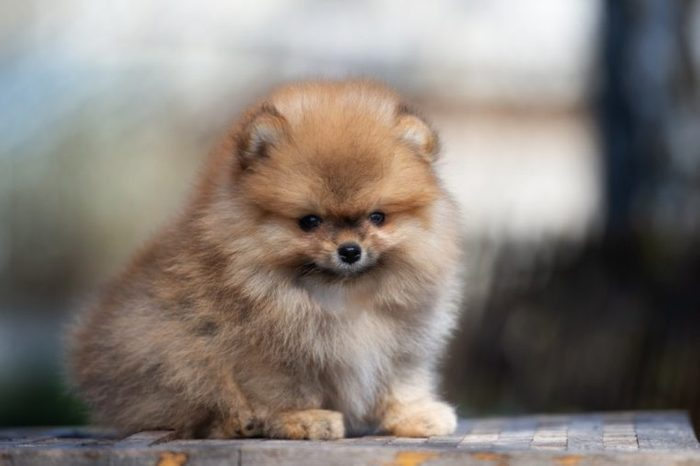 adorable red pomeranian spitz puppy posing outdoors