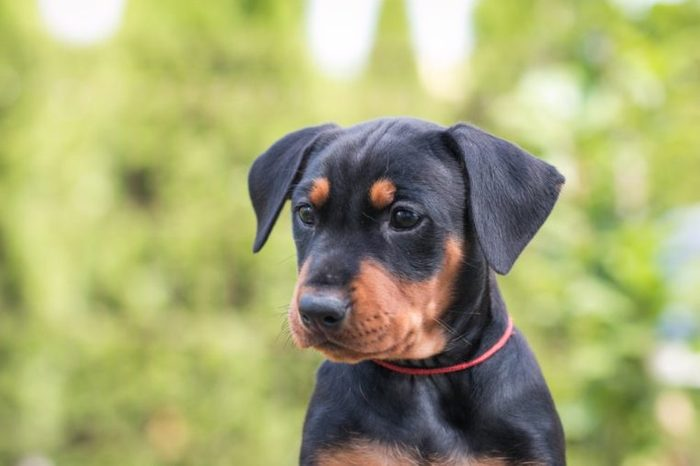 Cute pincher puppy in the grass. Puppy green portrait outside.