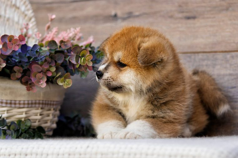 Akita puppy on wooden background