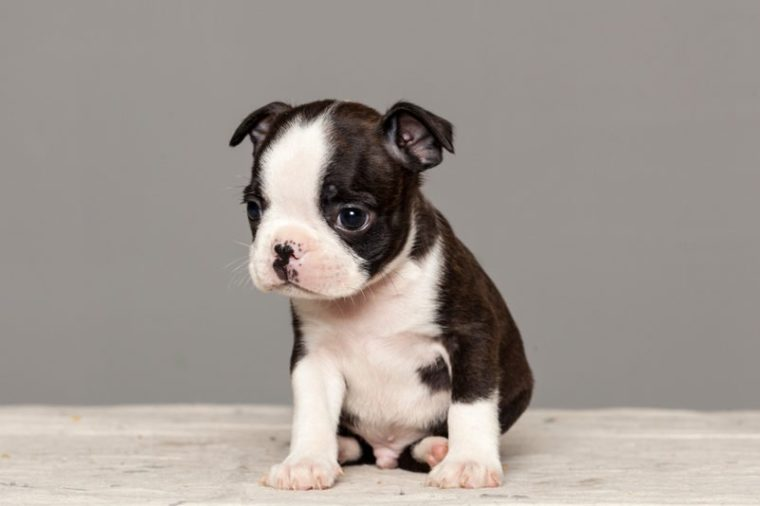 puppy dog boston terrier