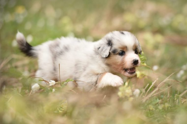 Puppy discover the world. Australian shepherd puppy.