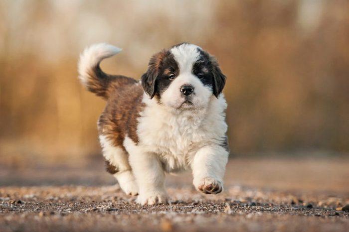 Saint bernard puppy