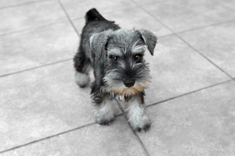 Miniature salt and pepper schnauzer puppy posing