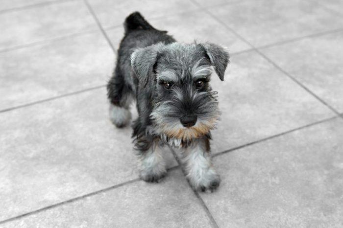 Miniature salt and pepper schnauzer puppy posing