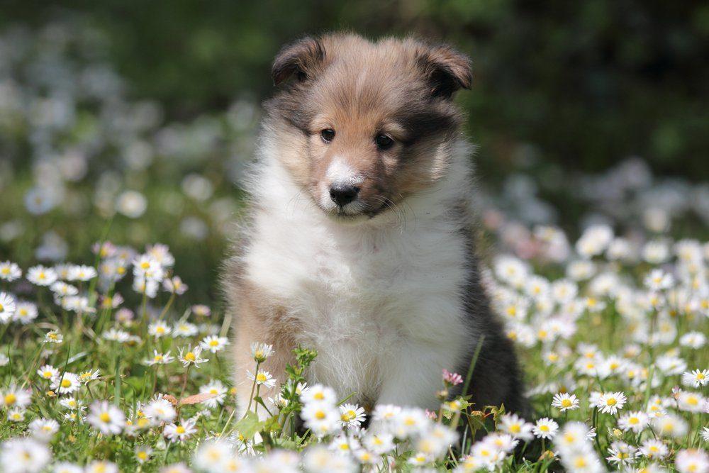 American Shetland Sheepdog puppy