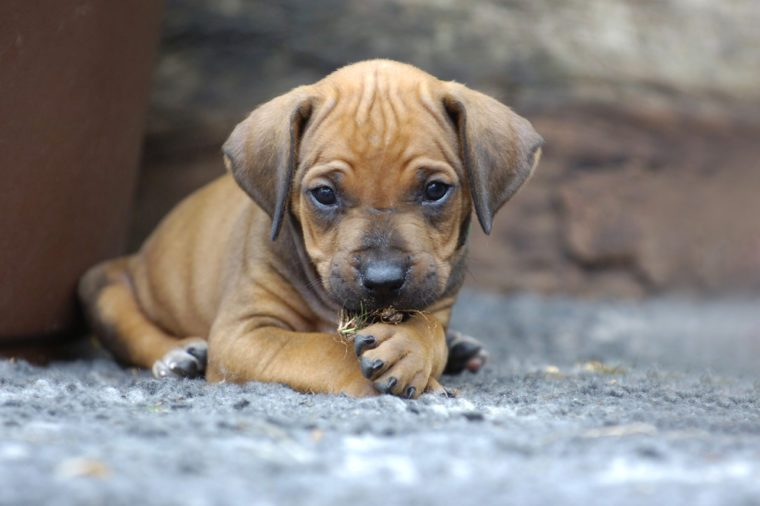 Young Rhodesian Ridgeback puppy playing in the garden