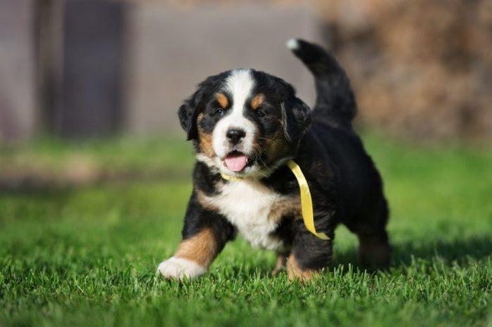 happy bernese mountain puppy walking outdoors