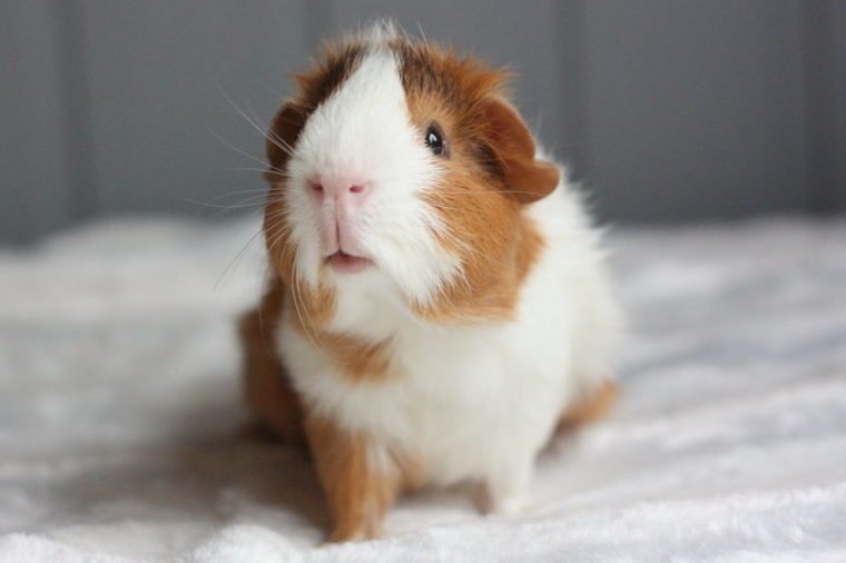 Curious guinea pig with rosettes