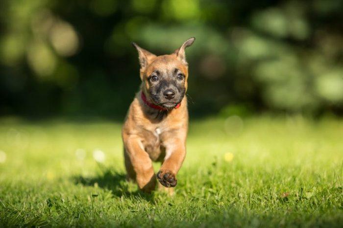 Running Belgian shepherd malinois puppy