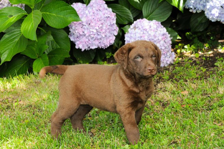 Portrait of puppy Chesapeake Bay Retriever in outdoors.