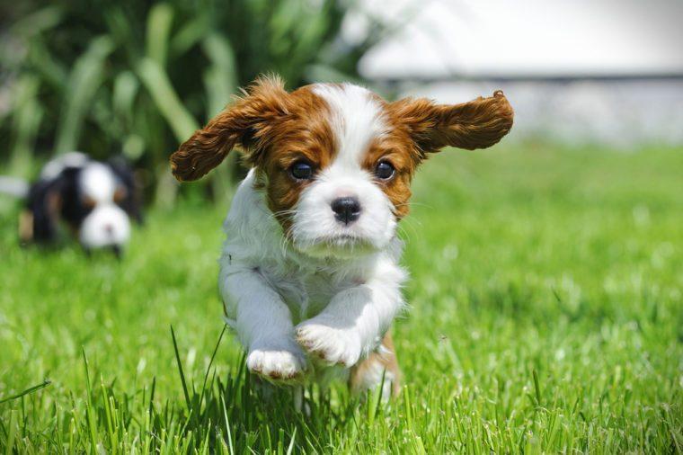 Cavalier King Charles spaniel puppy in garden