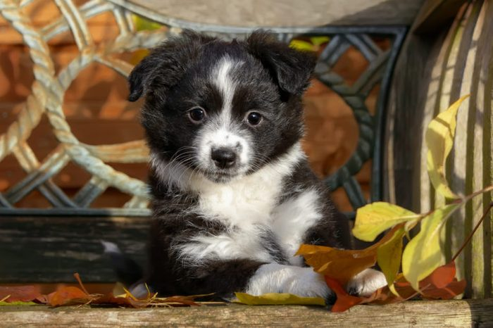 Cute young black bi-color Miniature American Shepherd dog puppy on a wooden bench, the intelligent dog breed is a also called Miniature Australian Shepherd.