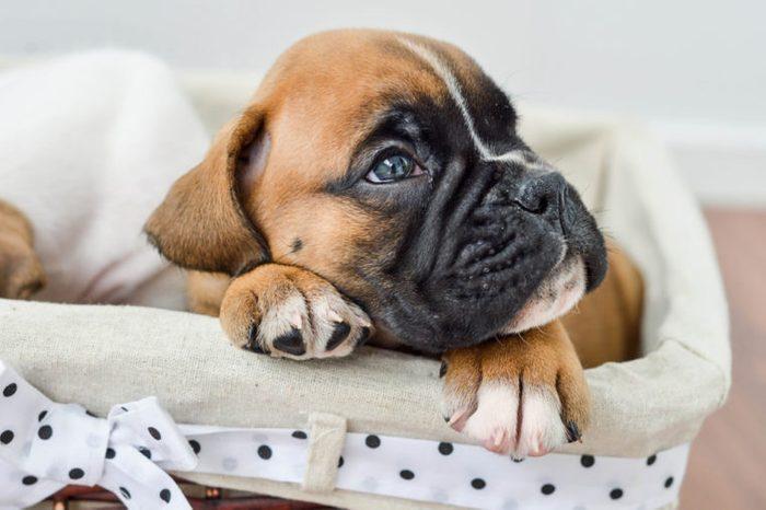 piercing gaze of a German boxer puppy lying in a stowage basket