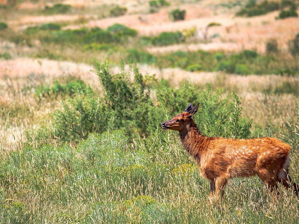 Waterton Lakes National Park deer