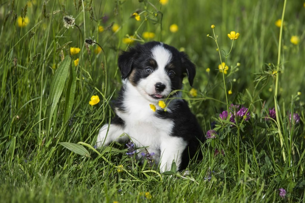 VARIOUS Miniature American Shepherd or Miniature Australian Shepherd or Mini Aussie puppy, Black Tri, sitting in flower meadow