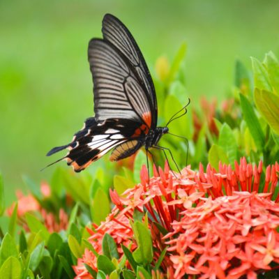 Attracting butterflies to your backyard