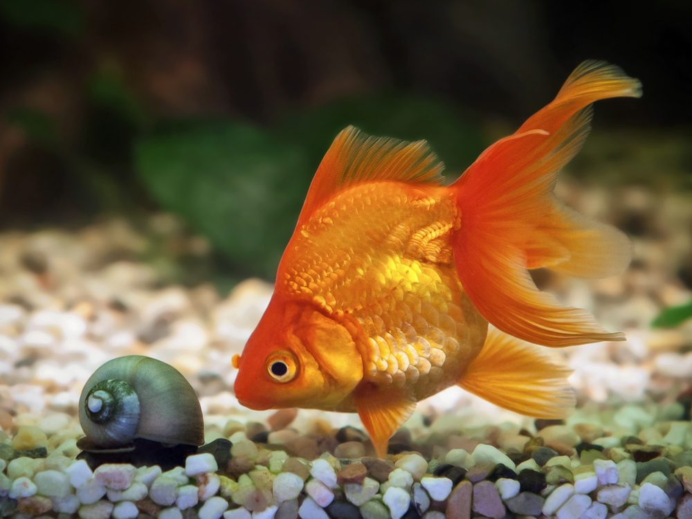 April Fool's Day gold fish