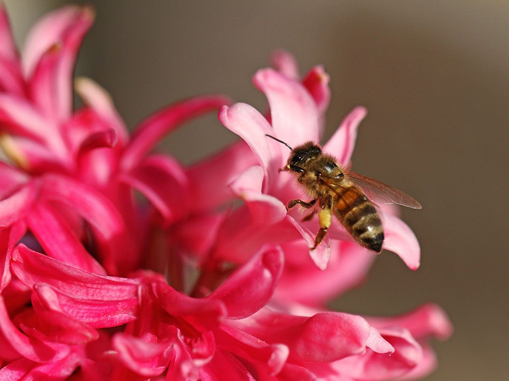 Bee friendly plants - hyacinth