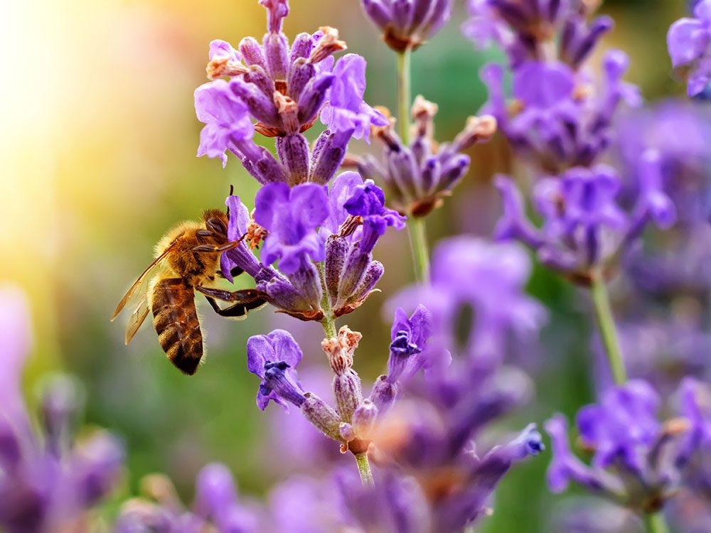 Bee friendly plants - lavender