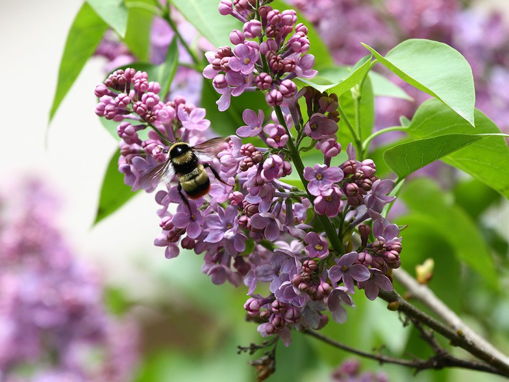 Bee friendly plants - lilac