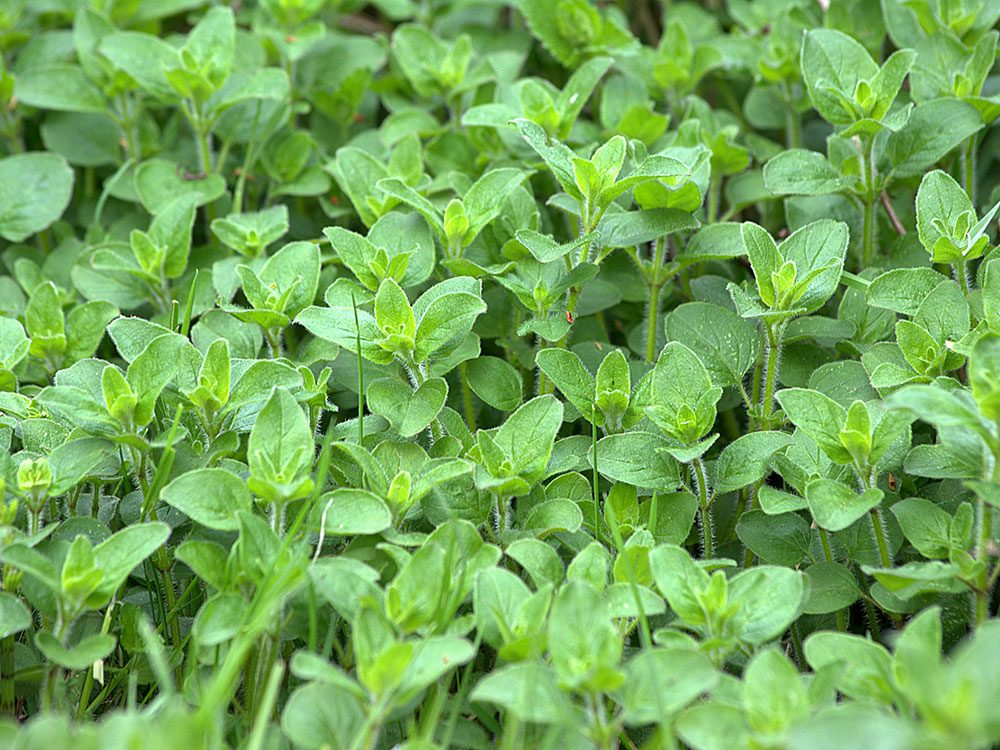 Bee friendly plants - oregano