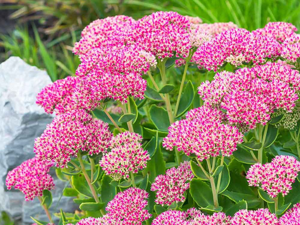 Bee friendly plants - sedum