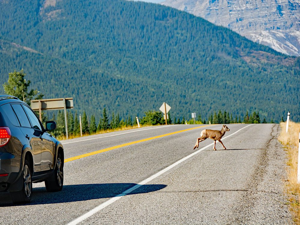 More bighorn sheep on the Highwood Pass