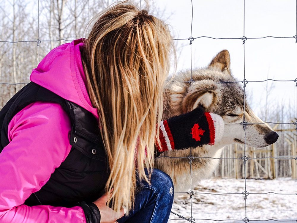 Day trips from Calgary - Yamnuska Wolfdog Sanctuary