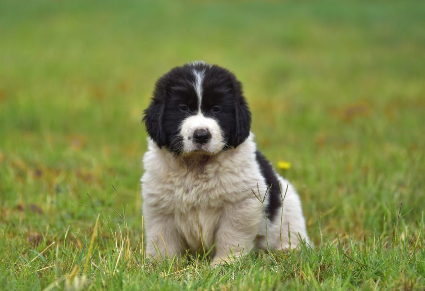 landseer dog puppy pure breed mother and puppy water training