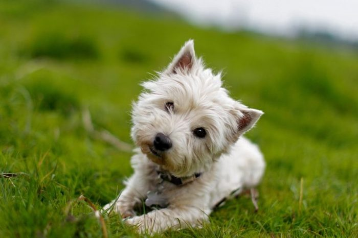 Little white dog tilting its head