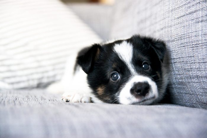 Tiny White and Black Cute Puppy on Sofa at Home