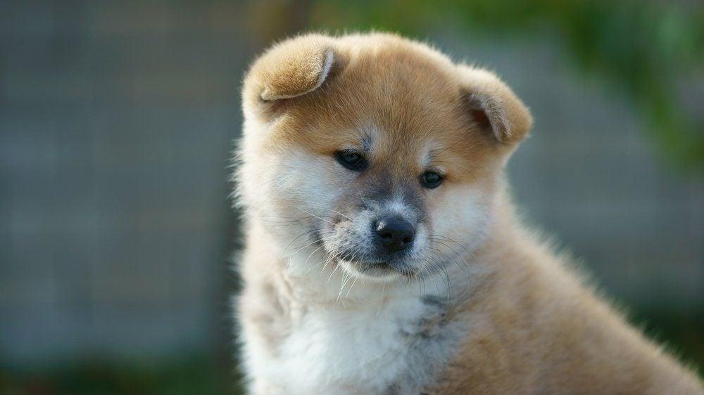 Akita Inu puppy closeup. dog sadness