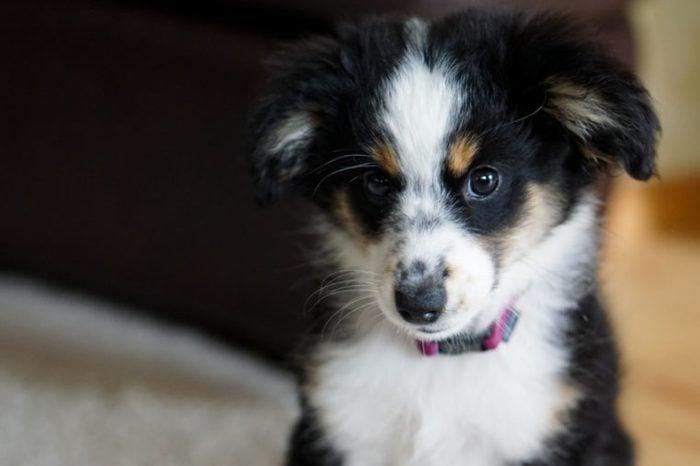 Miniature Australian Shepherd, Dog