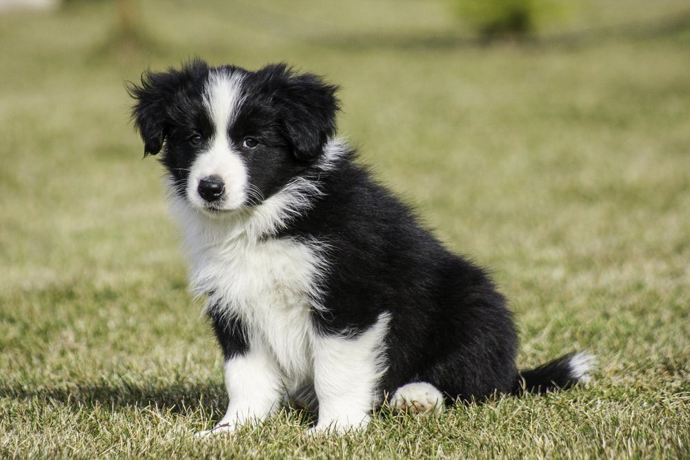 Black and white border collie running on the green grass