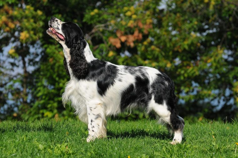 Dog breed English Springer Spaniel in outdoors.