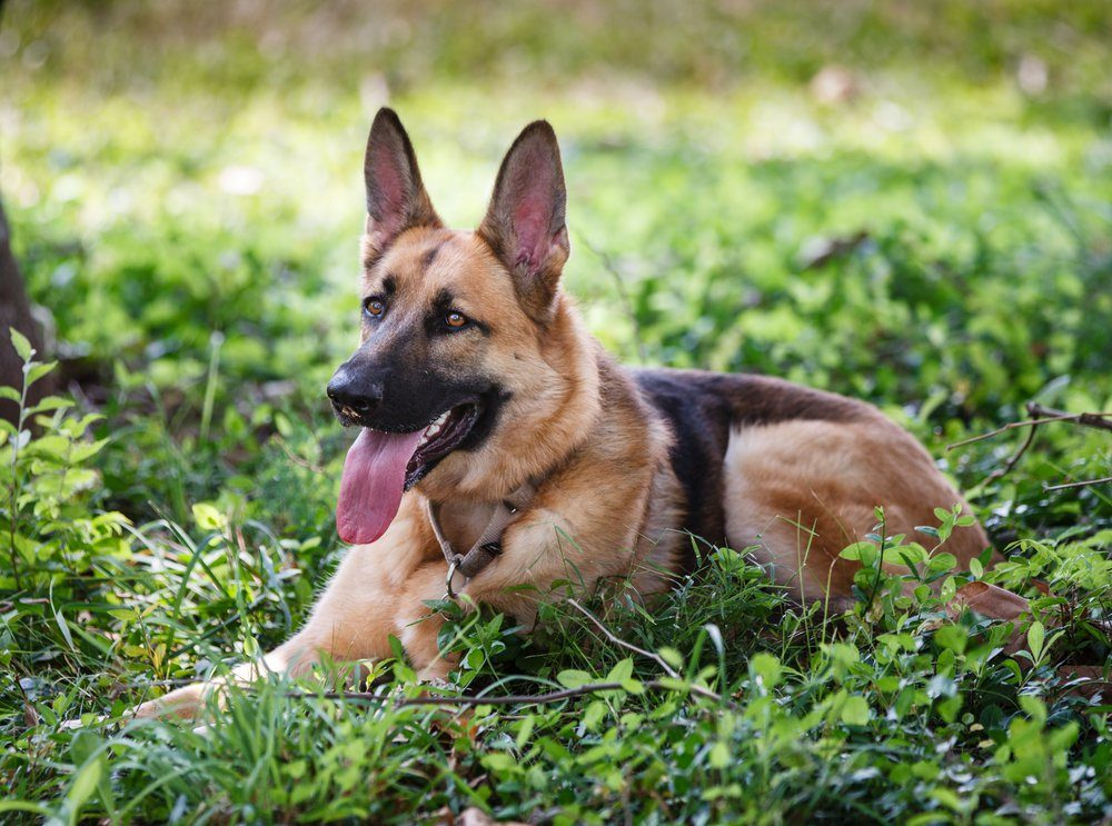 German Shepherd Dog resting outdoors in a field.