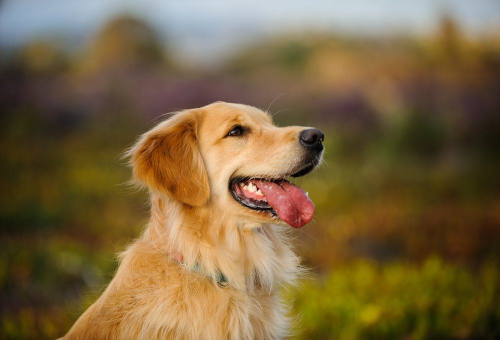 Golden Retriever dog headshot