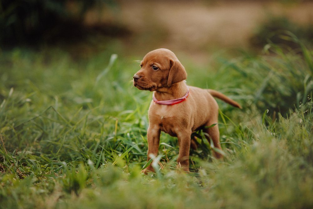 portrait of cute puppy Hungarian pointing dog, vizsla stay on grass. brown background