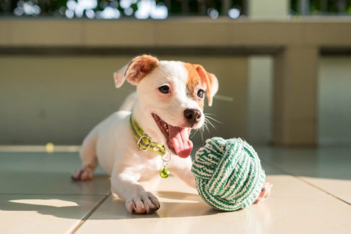 dog baby Jack russell terrier playing ball, Jack russell terrier dog with teeth.