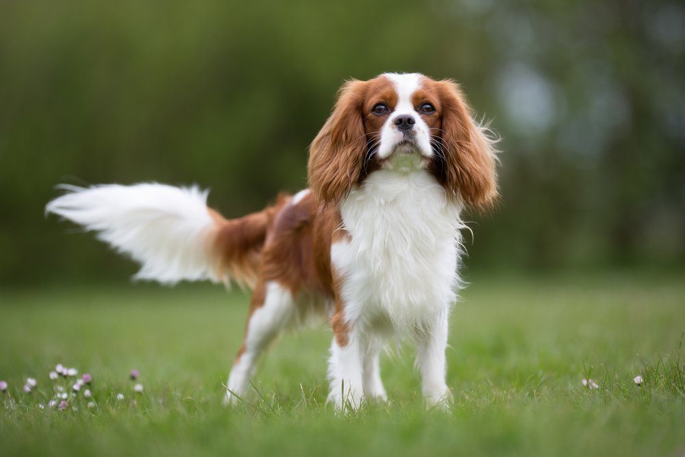 A purebred Cavalier King Charles Spaniel dog without leash outdoors in the nature on a sunny day.
