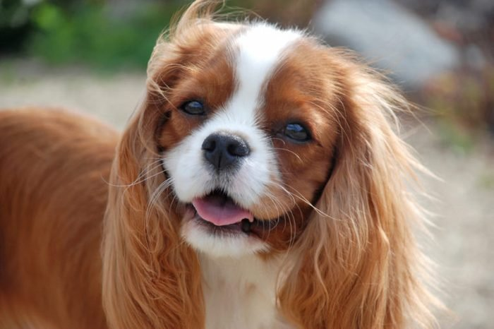 Cavalier King Charles Spaniel, beautiful red-haired dog.