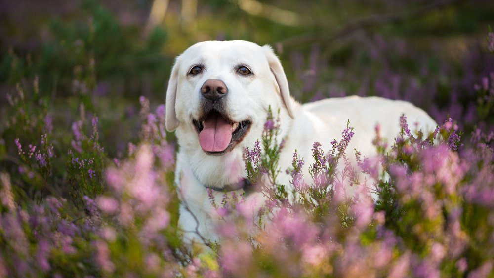 Labrador retriever dog in autumn heather flowers
