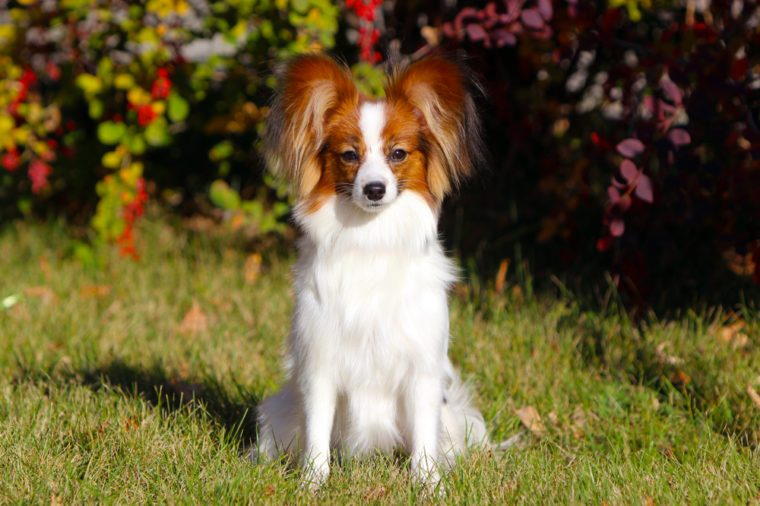 Papillon posing in the autumn background. Cute white dog sitting in the green grass. Beautiful puppy with raised ears walking on the street. Horizontal image. Copy space. Continental Toy Spaniel