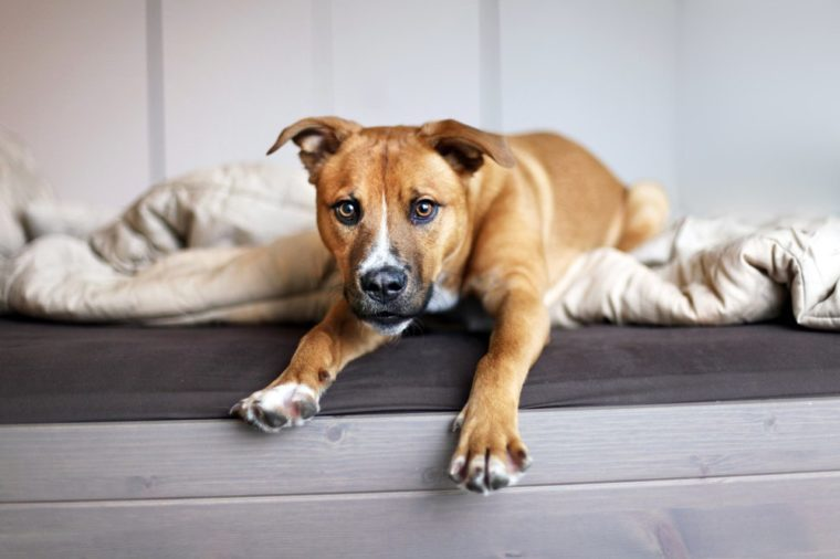 Puppy Dog Portrait Silly Playful Pup on Bed Shepherd Mixed Breed