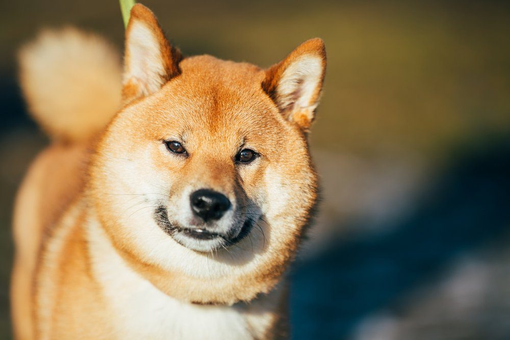 Close Up Head Snout Of Beautiful Young Red Shiba Inu Puppy Dog Staying Outdoor