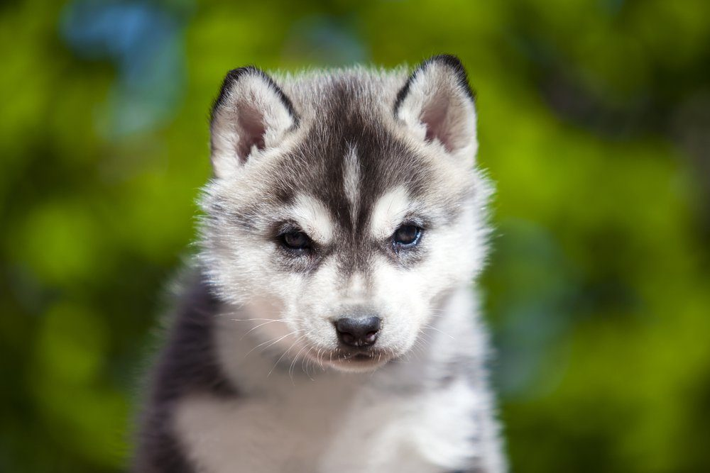 Siberian Husky puppy outdoor