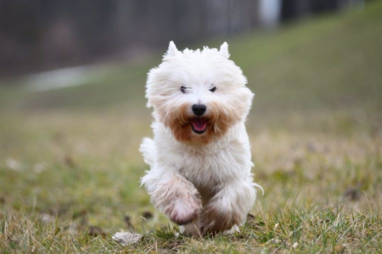 Running West Highland White Terrier