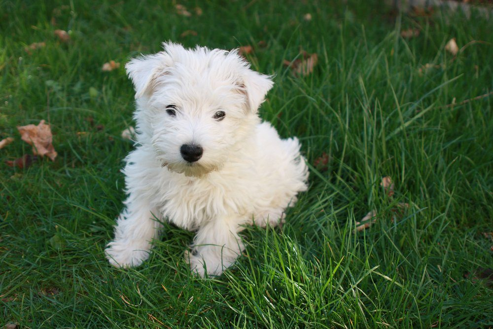 Westie puppy - West Highland White Terrier dog sitting on green grass