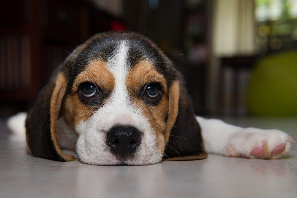 beagle puppy, beagle puppy at home.