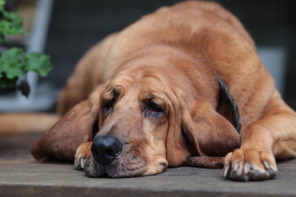 Bloodhound puppy in the woods